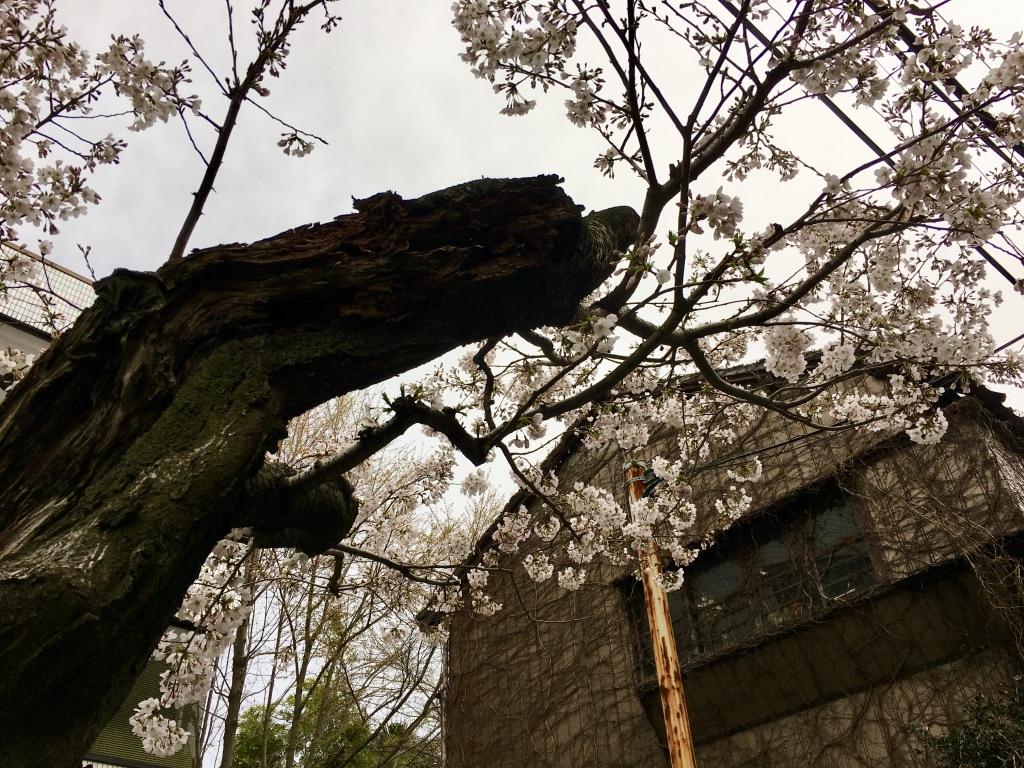 茗荷谷の桜